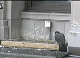 These cams offer 24/7 views of a pair of peregrine falcons nesting on Terminal Tower.