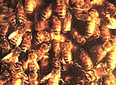 Live bee hive webcam, updates every 15 seconds.