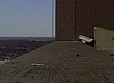 Live video stream of an active peregrine falcon nest.