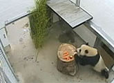 Streaming live panda cams. Uses Quicktime.
