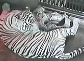 Streaming white tiger cam at Dusit Zoo.