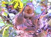 Streaming view of a Channel Island Allen hummingbird nest in Orange County, California.